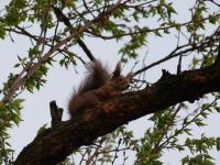 A squirrel in my apricot tree-800