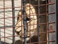 Caged lion cubs - so sad-800